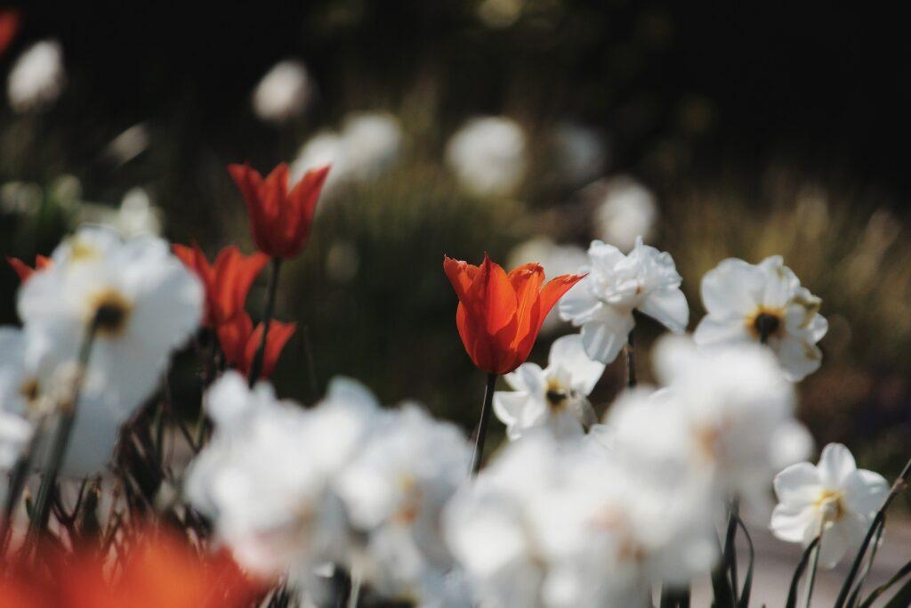 weiße Narzissen und rote Tulpen im Garten