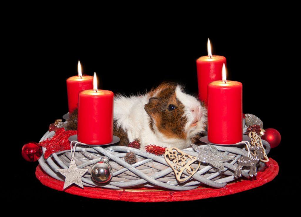 Witzig: Adventskranz mit Meerschweinchen :-)