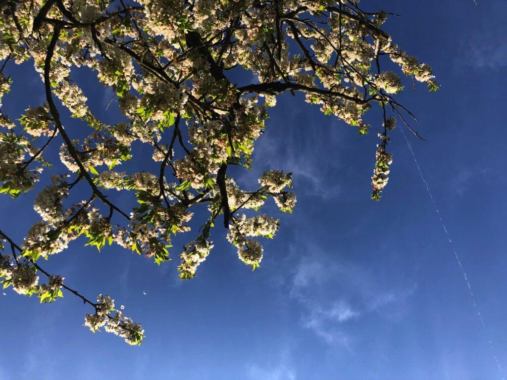 Wundervolle Kirschbluete